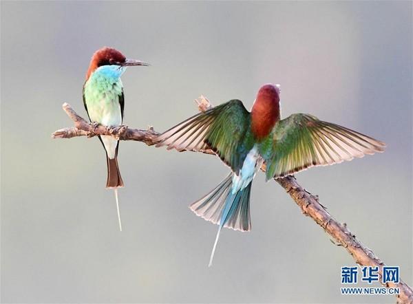 「中國最美小鳥」藍喉蜂虎。(圖/翻攝自新華網)