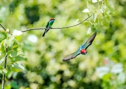 「中國最美小鳥」藍喉蜂虎。(圖/翻攝自微博/油炸香蕉魚)