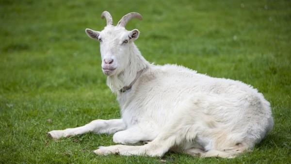 ▲▼羊,山羊。(圖/視覺中國CFP)