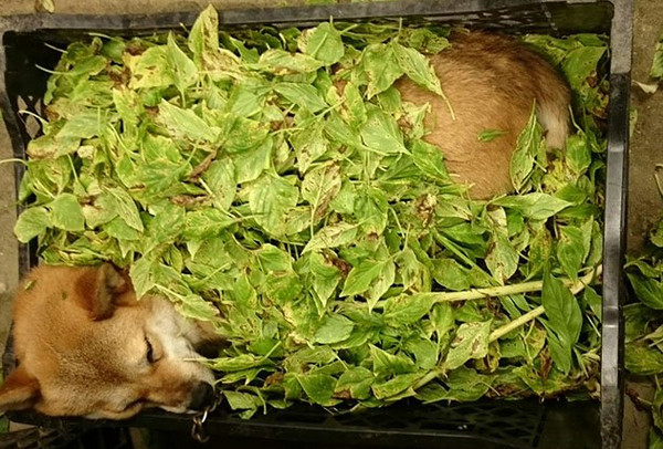 ▲忙著整理花材...柴犬睡在樹葉堆 網笑:這樣比較涼?(圖/翻攝自Twitter:takase_farm)