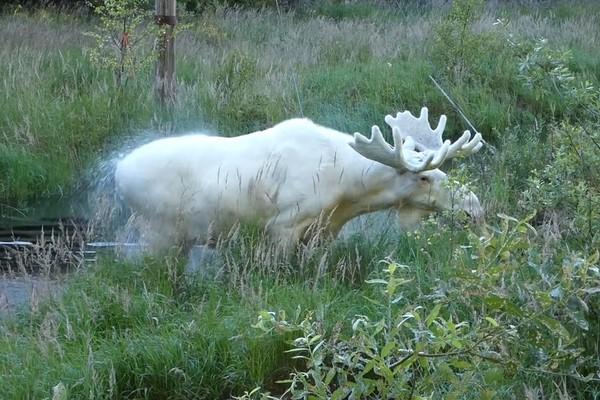 ▲▼瑞典出現全白的麋鹿,模樣超奇幻。(圖/翻攝自臉書P4 Värmland Sveriges Radio)