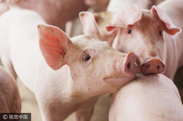 ▲▼ 豬。(圖/CFP)