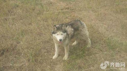 ▲▼山東德州動物園有一隻哈士奇混在狼群中。(圖/《齊魯網》)