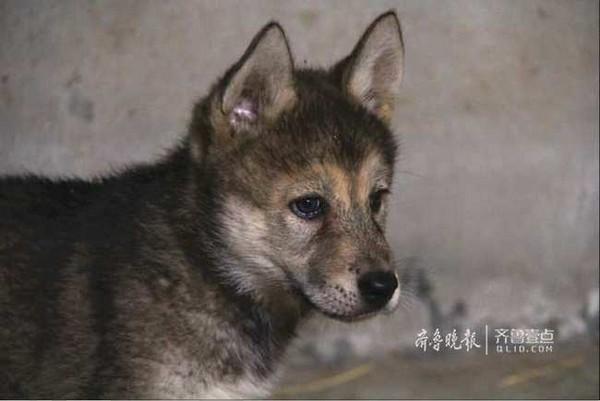▲▼山東德州動物園,哈士奇與母狼交配產下的寶寶。(圖/《齊魯晚報》)