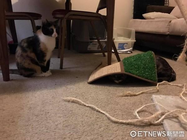 ▲玳瑁貓被笑「醜八怪」…默默用地墊把自己蓋起來 媽心疼抱緊。(圖/網友Michelle Tung提供)