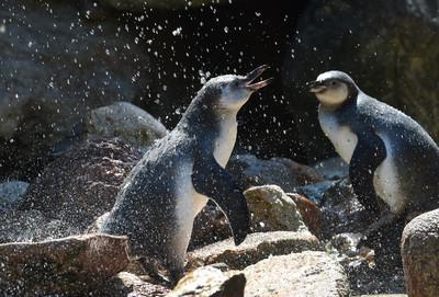三角戀、親子BL!日企鵝私生活大公開 比八點檔還精彩