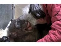謝謝來看我...阿嬤猩猩重病蜷縮 見44年老友淚笑「幸福去世」