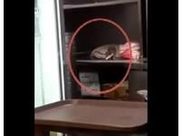 驚!老鼠偷搬餐廳火鍋料 網友歪樓:台版料理鼠王