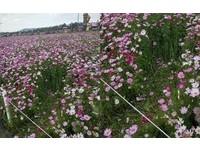 闖入花圃拍美照…新社花海被踐踏壓死 網諷:台灣人習慣了