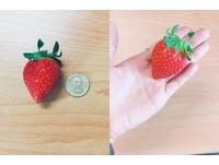 「進擊草莓」比50元大!網衝好市多搶購:早上10點就被掃空