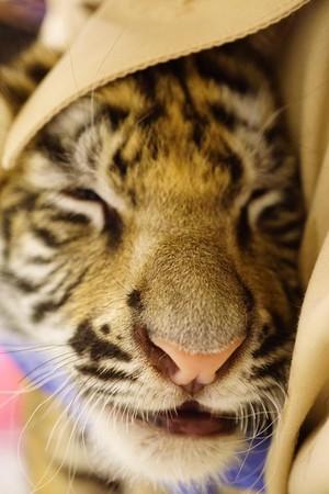 六福村小老虎。(圖/翻攝自六福村主題遊樂園臉書)