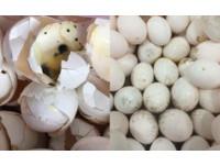 萇記泰安賣發霉長蟲蛋液 食藥署:情節重大不只罰6萬