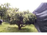 低溫預警再一波 花蓮農改場提供預防措施籲農友防寒