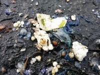 水母界第3毒!「僧帽水母」現蹤台東海岸 被螫速就醫