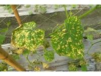 天轉濕冷蔬菜病害蠢動 花蓮農改場籲農友多廵田防病害