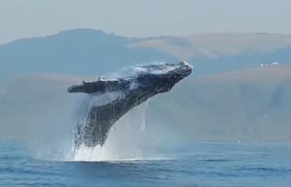 ▲▼40噸座頭鯨躍出水面。(圖/翻攝自Craig Capehart Youtube)