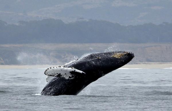 ▲▼座頭鯨。(圖/達志影像/美聯社)