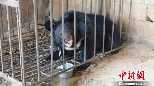 ▲▼村民誤把黑熊當狗,還養了3年。(圖/翻攝自中新網)