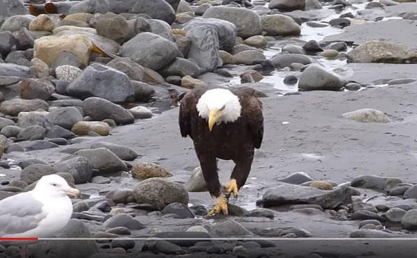 ▲白頭鷹海邊散步「踮腳走過石頭」 網笑:工讀生給我出來喔~。(圖/翻攝自YouTube/Timm Martin)