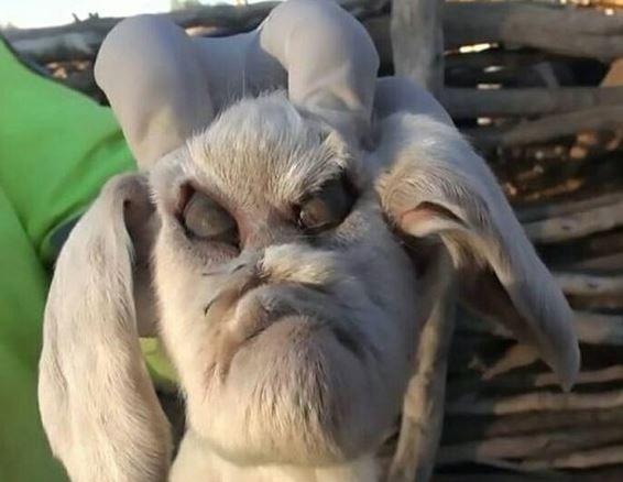 阿根廷山羊寶寶整臉「奧嘟嘟」。(圖/翻攝自臉書/Henna Henna)