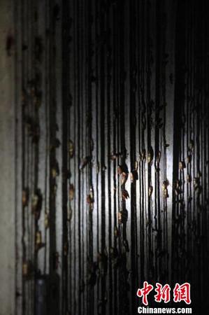 ▲養小強做環保!陸男養3億隻蟑螂「當員工」 日吃15噸廚餘。(圖/翻攝自中新網)