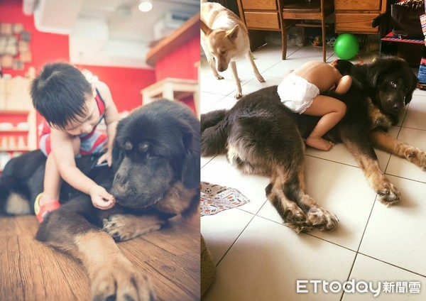 ▲獒犬遭棄山上瘦剩30kg 收編後「要弟弟保護」才安心吃飯。(圖/Alice Wang提供)