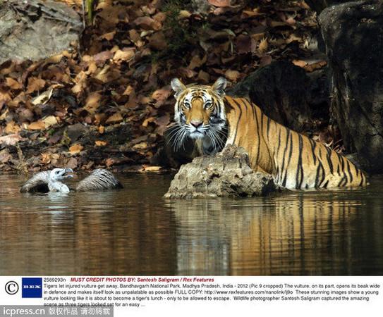 印度,孟加拉虎,沼澤,釣魚