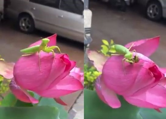 ▲螳螂腳下一朵花!手機錄影瞬間「驚喜→驚嚇」 網:黃雀呢。(圖/翻攝自爆料公社粉絲專頁)