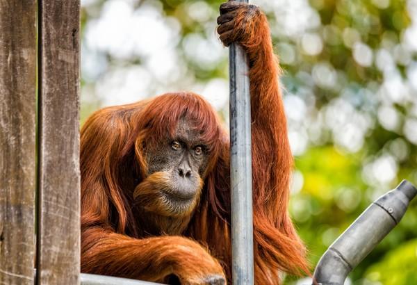 澳洲伯斯動物園(Perth Zoo )一隻全球最「年邁」的蘇門答臘紅毛猩猩「普安(Puan)」昨天辭世;牠在世界各地總共有11個孩子,總共54隻後代。而普安在印尼語中,是「小姐」的意思。(圖/翻攝自Perth Zoo: Alex Ashbury)