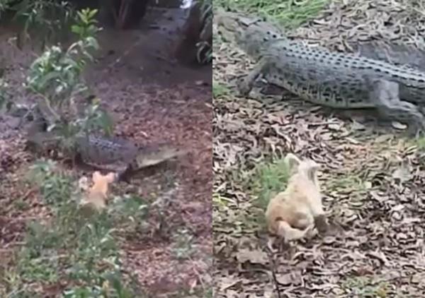 ▲▼放任狗狗惹怒鱷魚 牠一秒被咬殺拖入湖底。(圖/翻攝自YouTube)