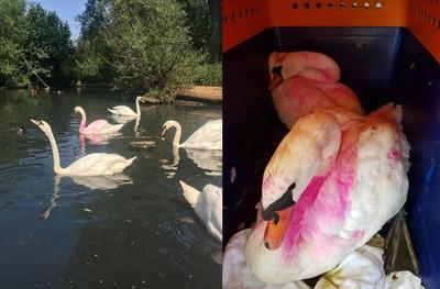 2天鵝被塗成「粉紅色」遭同伴側目 引掠食者鎖定目標
