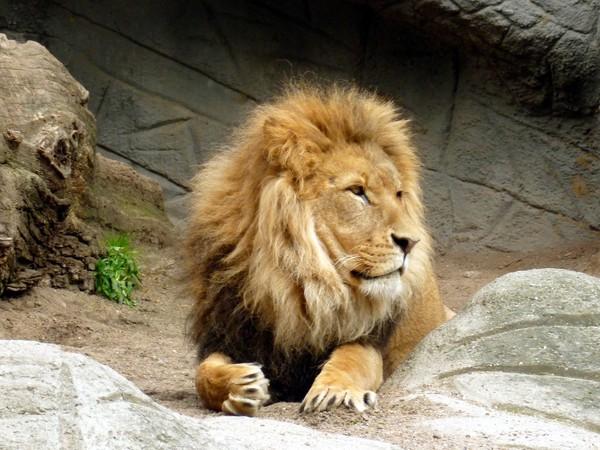 ▲▼獅子。(圖/翻攝自Pixabay。)