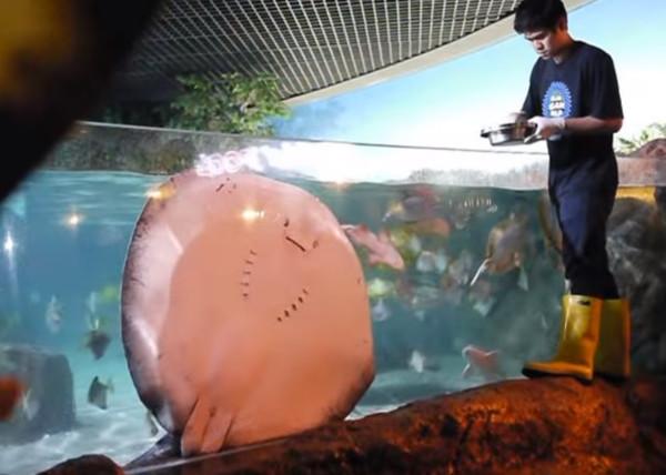 ▲排隊討食被無視!魟魚氣噗噗「海嘯攻擊」 終於吃到才得意飄走。(圖/翻攝自YouTube/Sure)