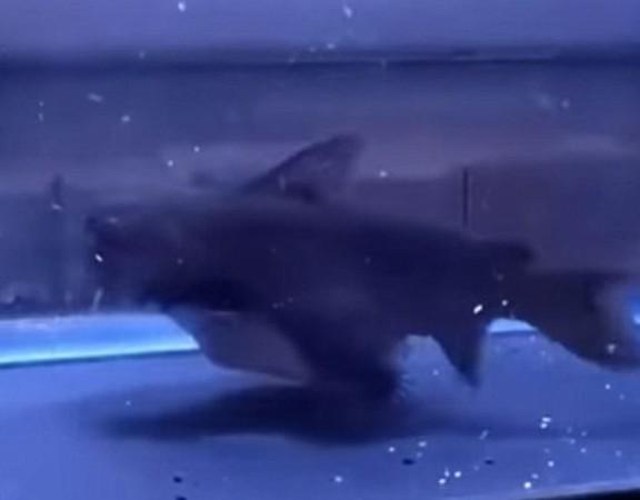大嘴鯨活吞錦鯉,吃完秒變河豚!(圖/翻攝自YouTube@SENGKLEH)