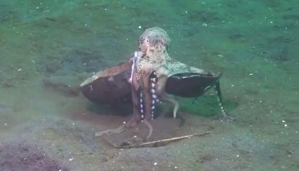 ▲章魚「拎寶貝」踮腳走路…下秒神收縮窩入 研究員差點笑死。(圖/翻攝自YouTube/Poussin Diver)