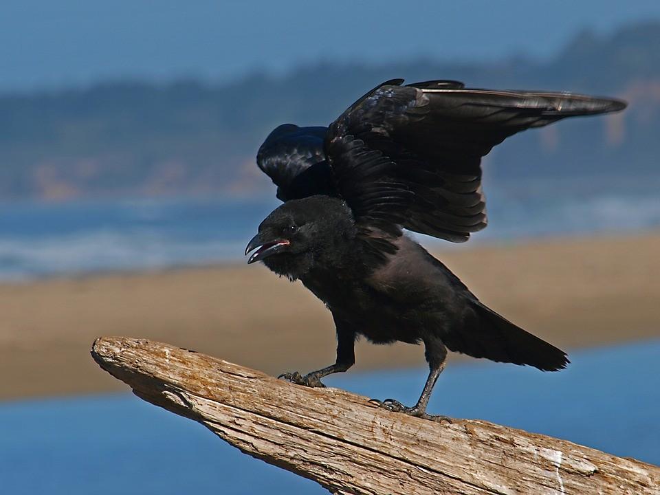 ▲▼烏鴉,鳥。(圖/取自免費圖庫pixabay)
