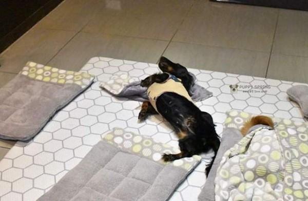 寵物幼稚園「毛孩午休照」曝光!(圖/翻攝自Instagram用戶「puppyspring_」)