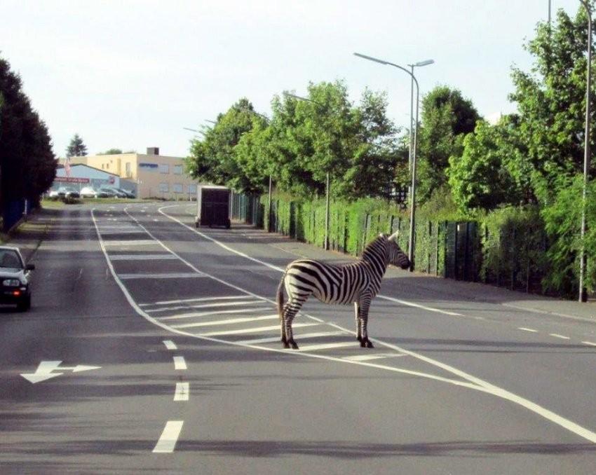 德國斑馬逃出馬戲團 停在斑馬線不動…自以為隱形了