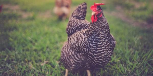 ▲▼ 英國富翁邁爾斯的雞「Gigoo」得到主人留下的1500萬遺產,排名第五 。(圖/翻攝自comparethemarke官網)