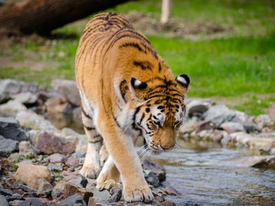 野生老虎只剩4000隻!英動保團體:10年內將滅絕
