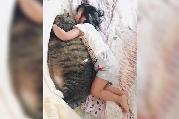▲▼還以為是海豹!妹妹「暖抱11公斤巨貓」午睡 萬人朝聖:貓快比人大。(圖/邱俐箴授權提供)