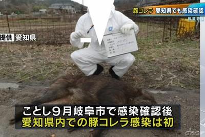 日本爆第6起豬瘟案例!愛知縣野豬遭感染死亡「病情擴大中」