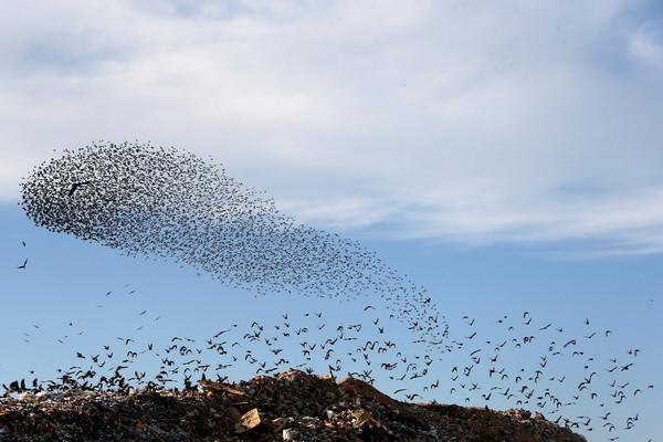 ▲▼ 歐洲椋鳥每年冬季皆會南下避寒,牠們群起飛舞,排成各式圖形。(圖/路透)