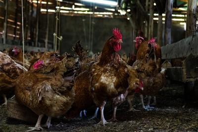 8大連鎖店被點名漠視「雞福利」! 400億隻雞被灌食到跛腳