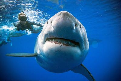 史上最大隻白鯊 6公尺「深藍」來去夏威夷 找吃的!