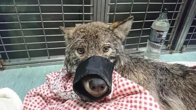 「灰狗」受困冰凍水壩!3工人抱起開車直奔獸醫 專家:牠是狼