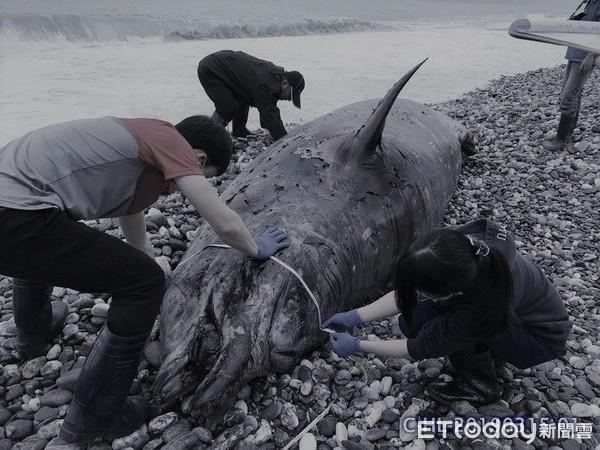 ▲花蓮擱淺柯氏喙鯨「懷165公分寶寶」 胃裡有6塑膠袋+4麻布袋。(圖/海洋保育署提供)