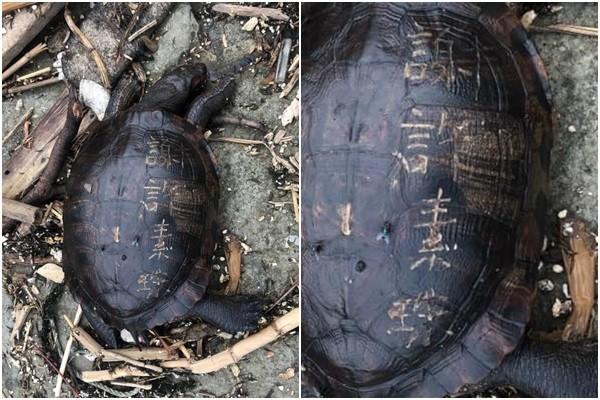 ▲▼基隆和平島公園海邊發現死亡淡水龜,龜殼上還被人刻字。(圖/翻攝Facebook/和平島公園 Heping Island Park)