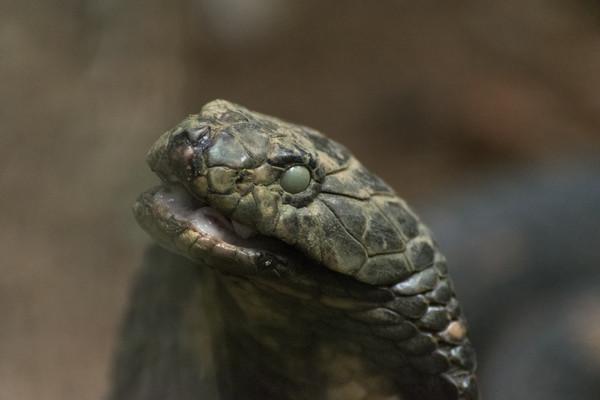 ▲眼鏡蛇。(圖/CFP,示意圖。)