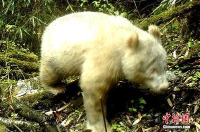 全球首例!四川臥龍自然保護區拍到「紅眼白化貓熊」